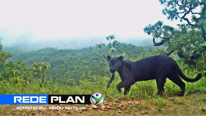 Onça preta aparece em uma fazenda em Planaltina Goiás | RP